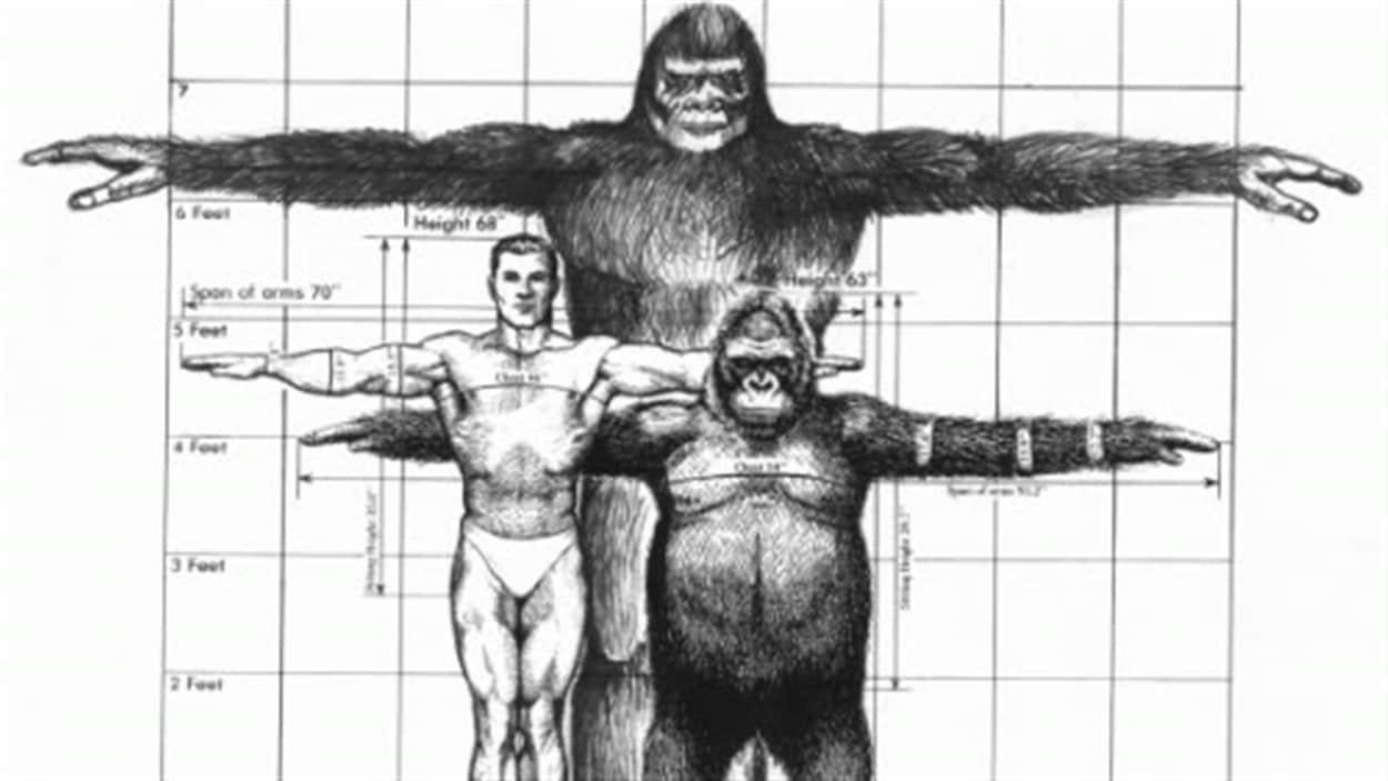 Comparaison entre un humain, un gorille et un gigantopithèque.