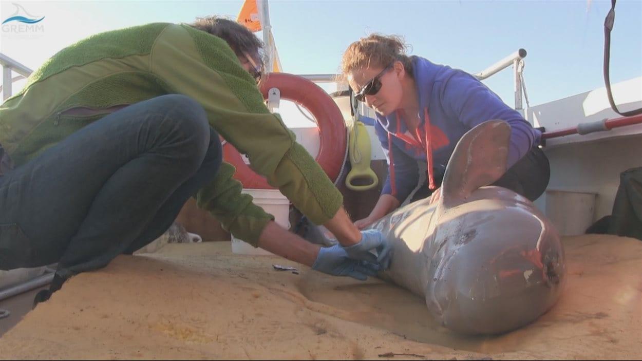 L'équipe du GREMM emmène le bébé béluga au large de l'île aux Lièvres.