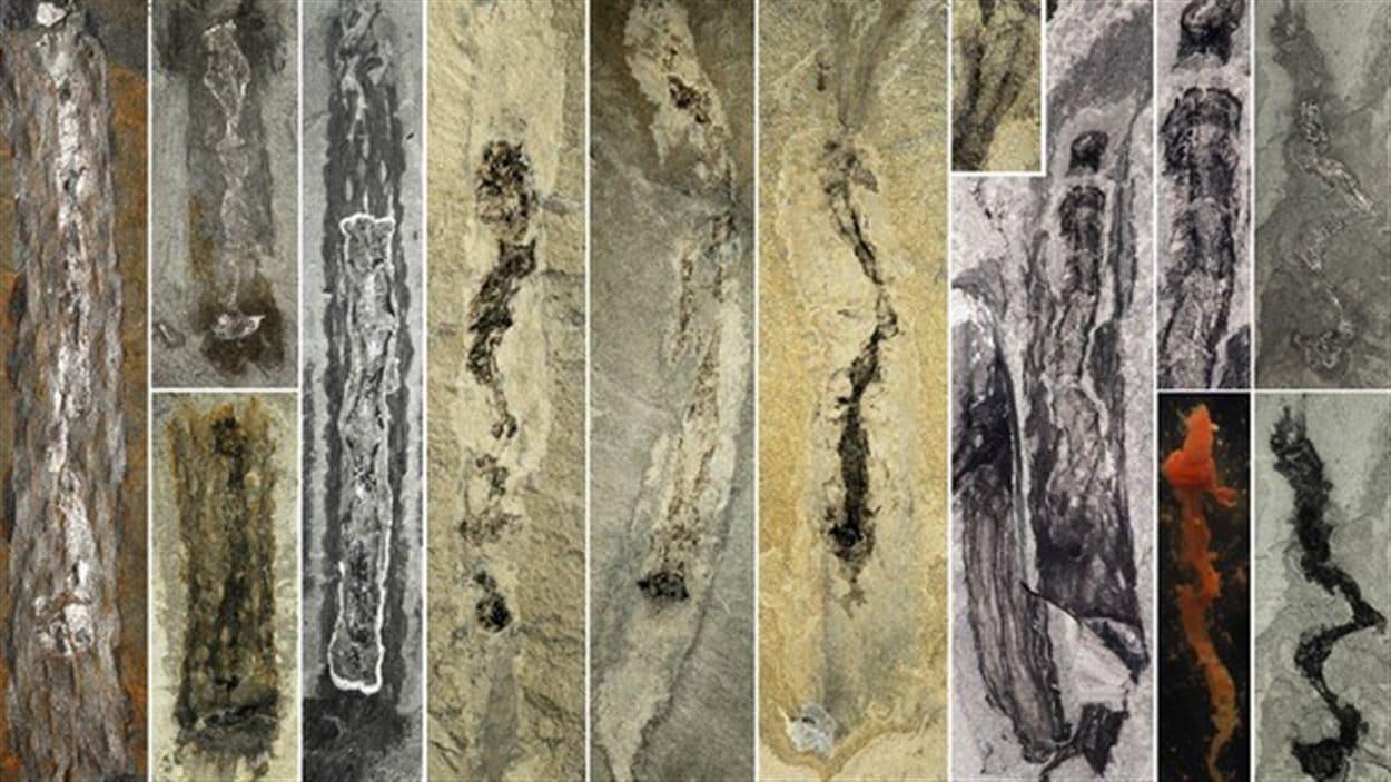 Différents exemples de fossiles de l'Oesia