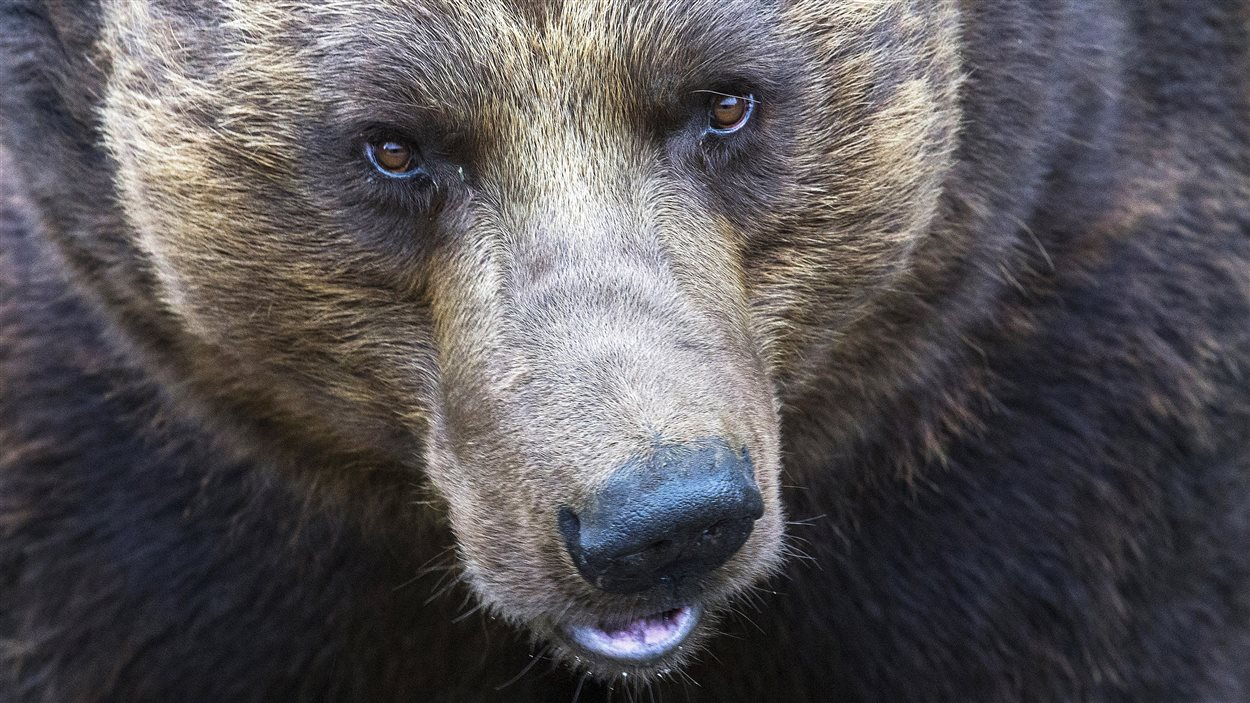 Un ours grizzly.