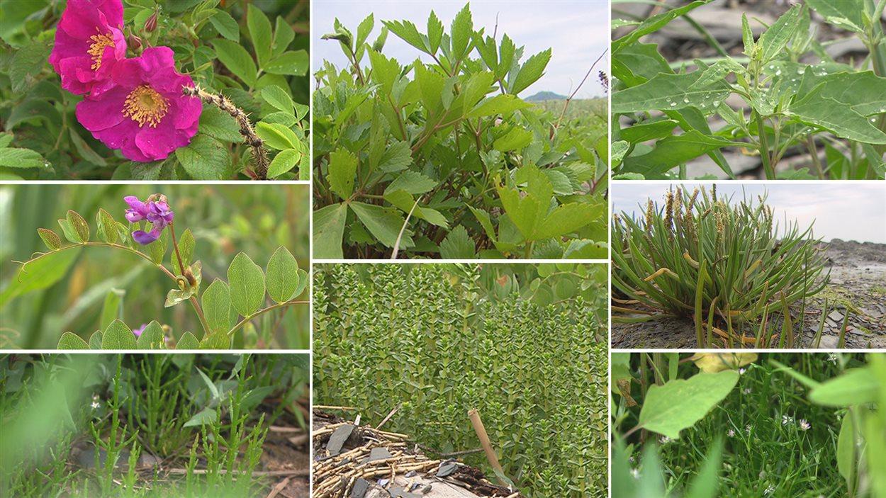 Différentes plantes comestibles se retrouvent facilement le long du littoral.