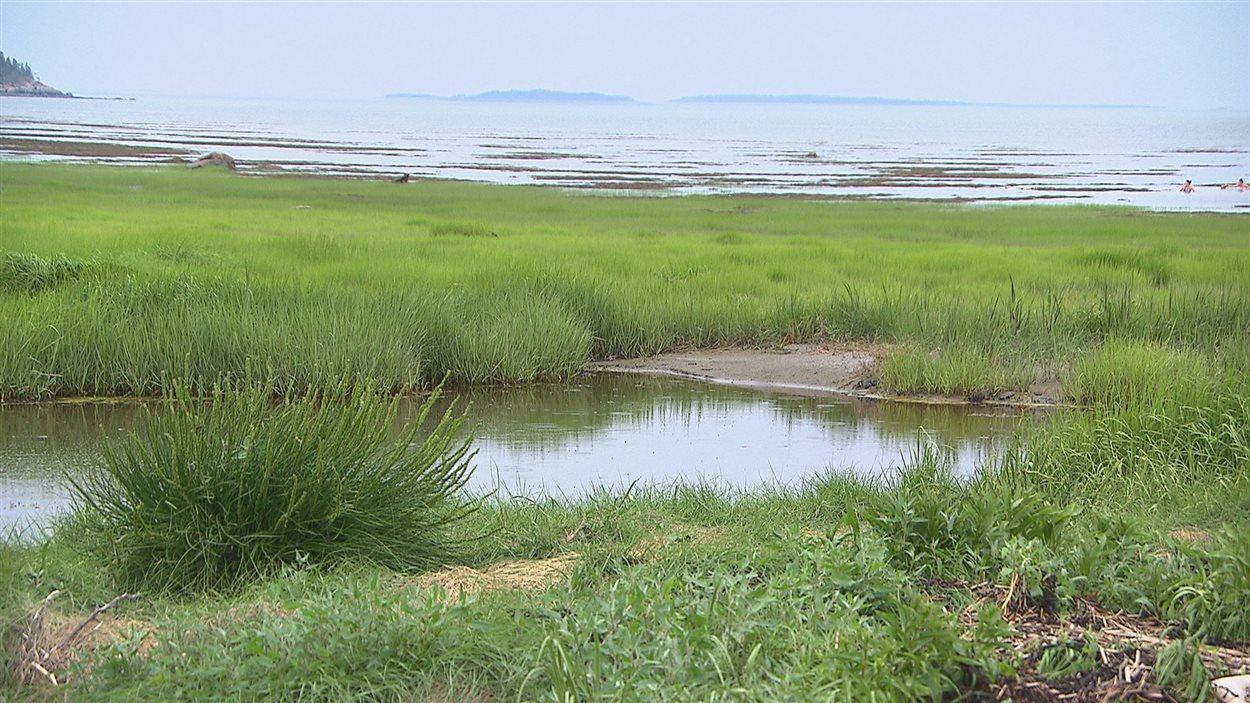 Des épinards de mer, de la salicorne et du persil de mer se retrouvent un peu partout le long du littoral.