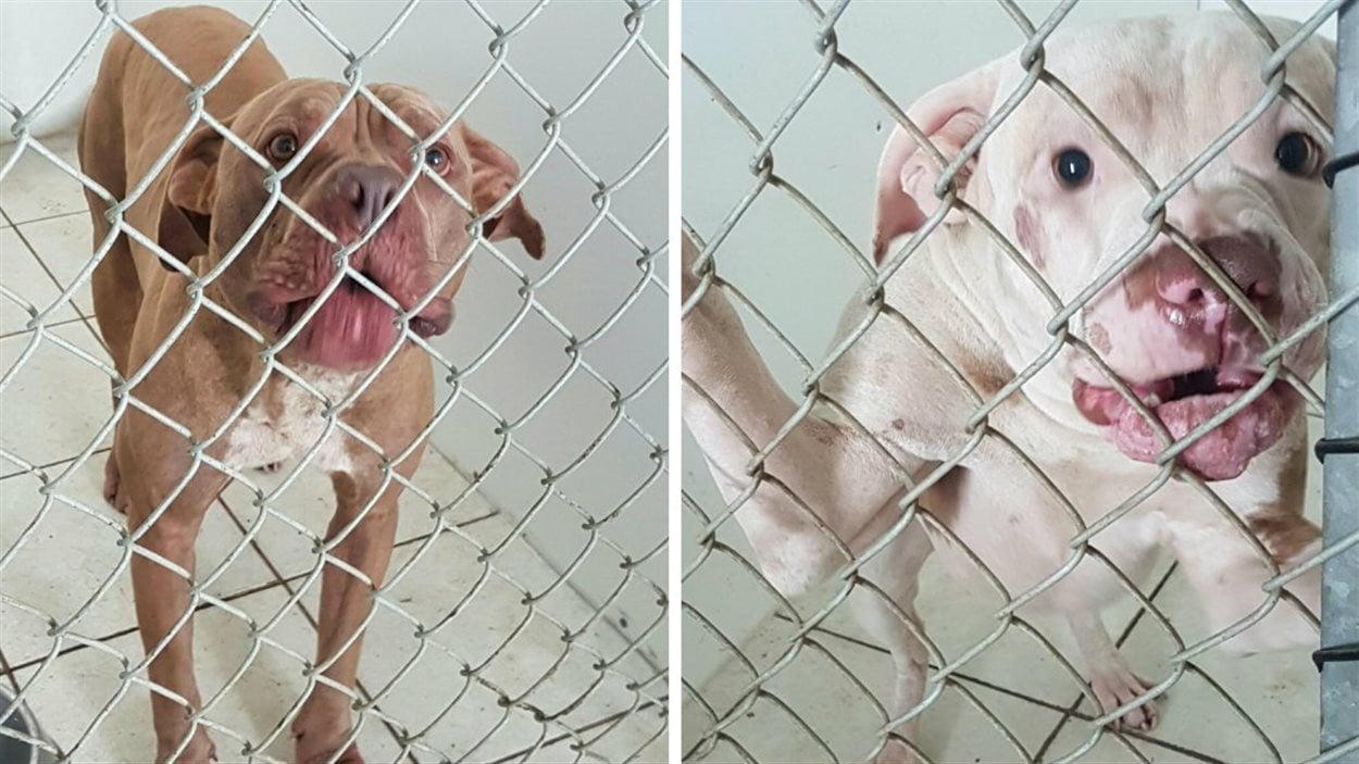 Les deux chiens qui se sont bataillés dimanche soir, à Cowansville, sont désormais sous la supervision de la SPA des Cantons