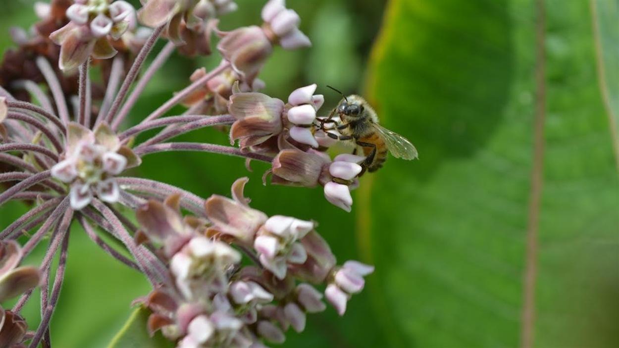 Au Vermont, une fleur d'asclépiade sur laquelle un insecte pollinisateur s'est posé