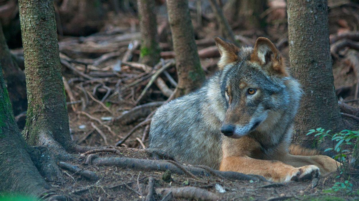 Moïgan le loup, pensionnaire du Refuge Pageau
