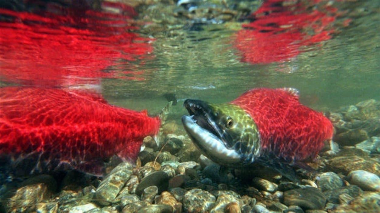 Un saumon Sockeye dans le fleuve Fraser en Colombie-Britannique.