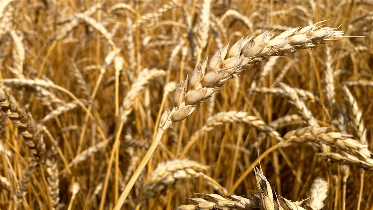 Un épi de blé