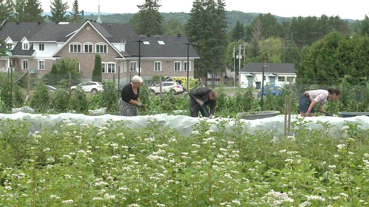 Le site de culture en champs du projet Cultiver pour nourrir est situé derrière l'hôtel de ville de Mont-Laurier.