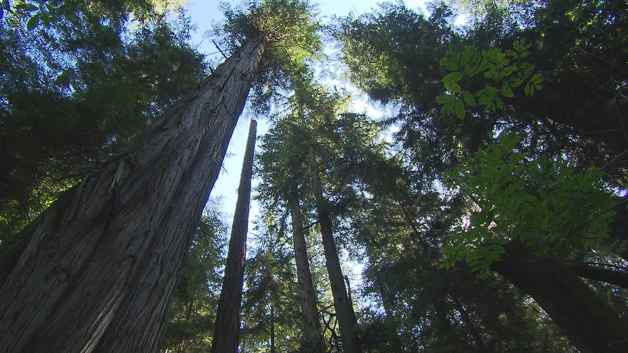 Certains arbres atteignent des hauteurs de plus de 60 mètres.