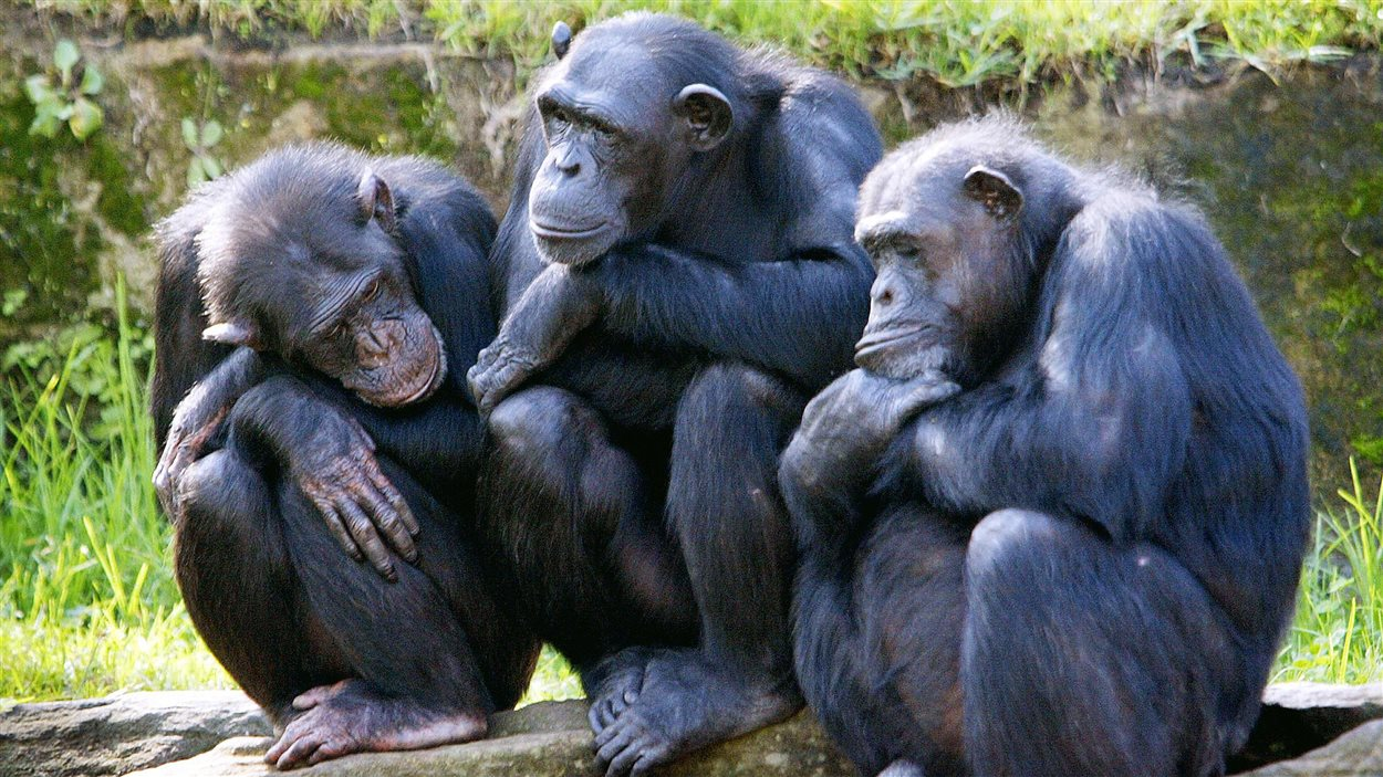 Trois chimpanzés