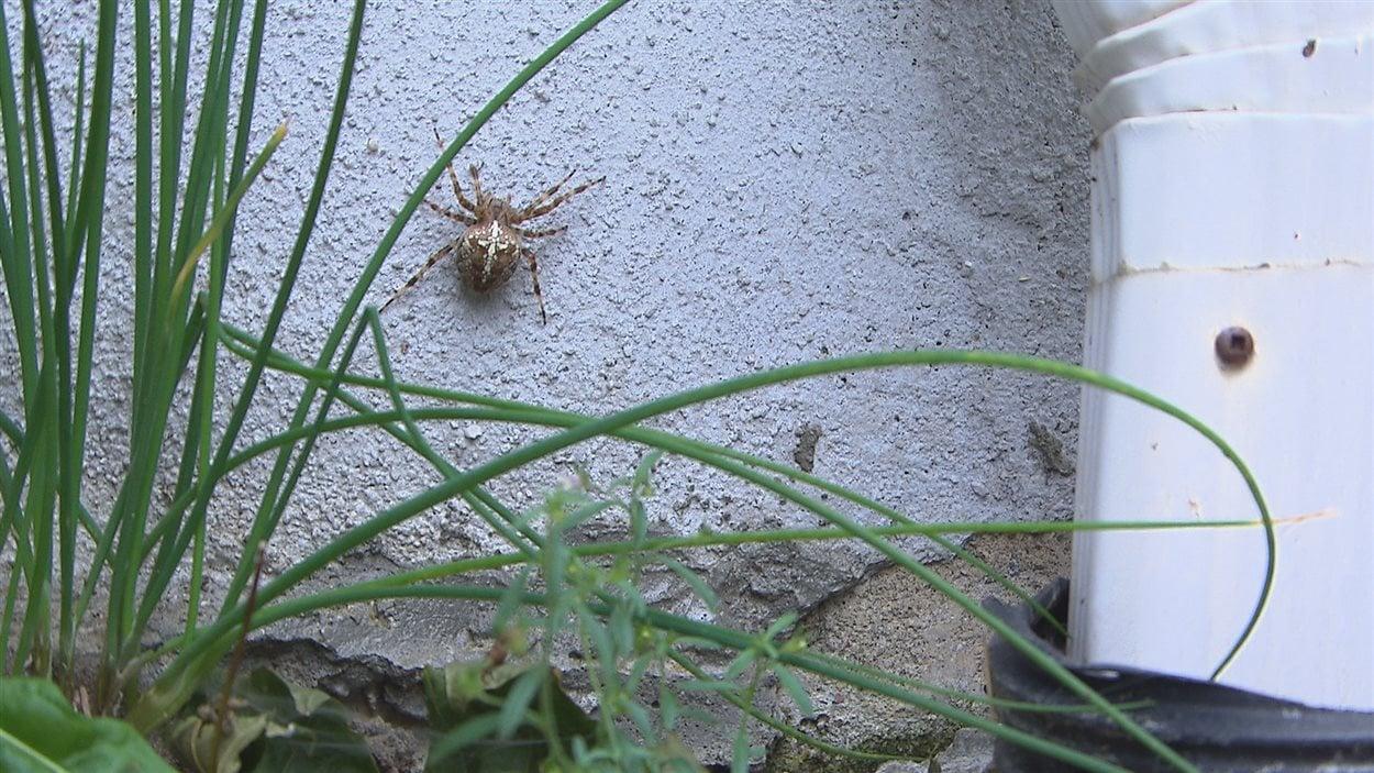 Les araignées sont noombreuses dans l'Est du Québec cet été.