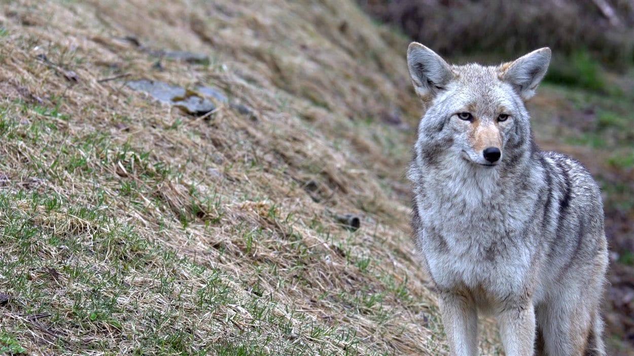 Les coyotes, des canidés originaires de l'ouest, envahissent désormais les grandes villes d'Amérique du Nord.