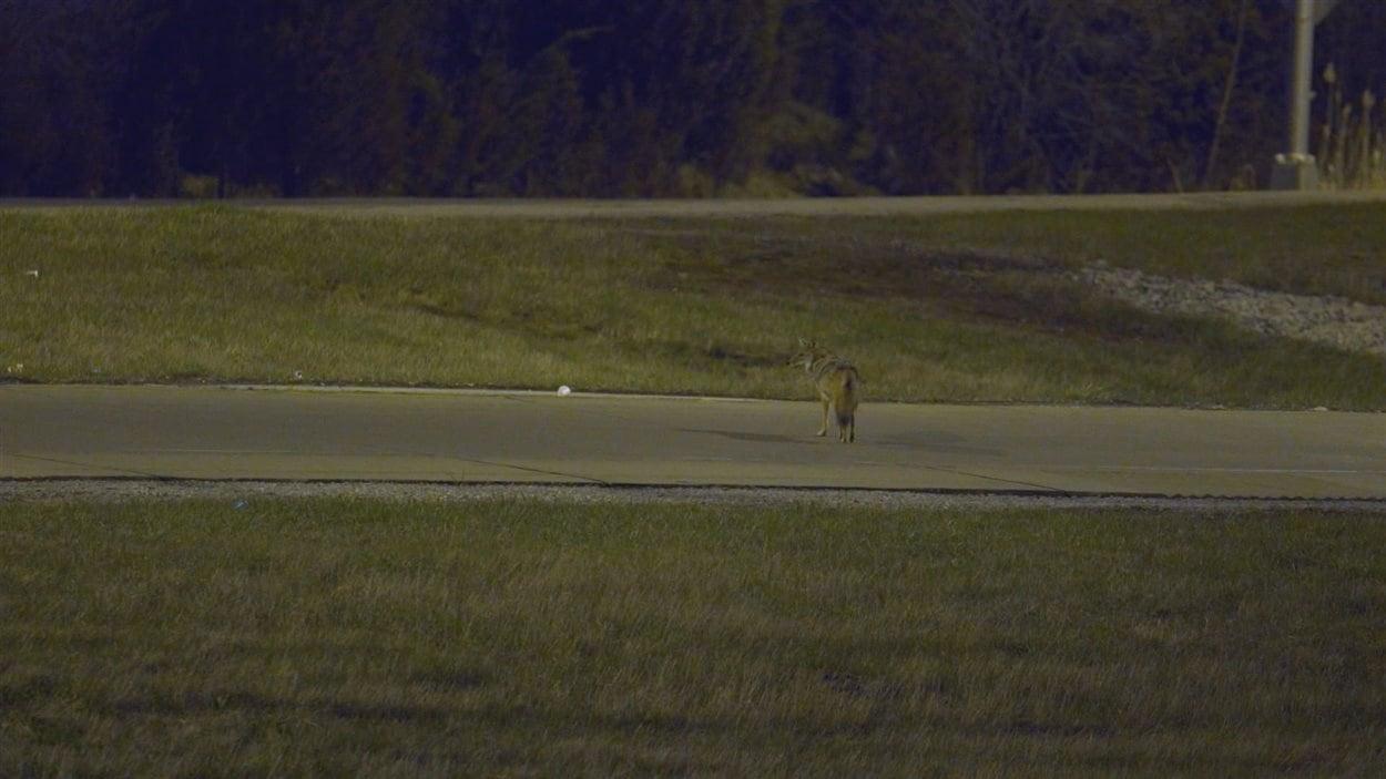 Un coyote traverse la rue à Chicago en prenant garde d'éviter les voitures.