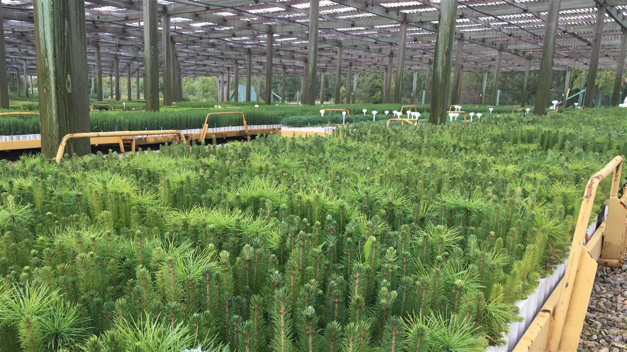 La pépinière de J. D. Irving, à Sussex, au Nouveau-Brunswick. Plus de 100 millions d'arbres ont été traités avant d'être plantés avec un endophyte résistant à la tordeuse des bourgeons de l'épinette.