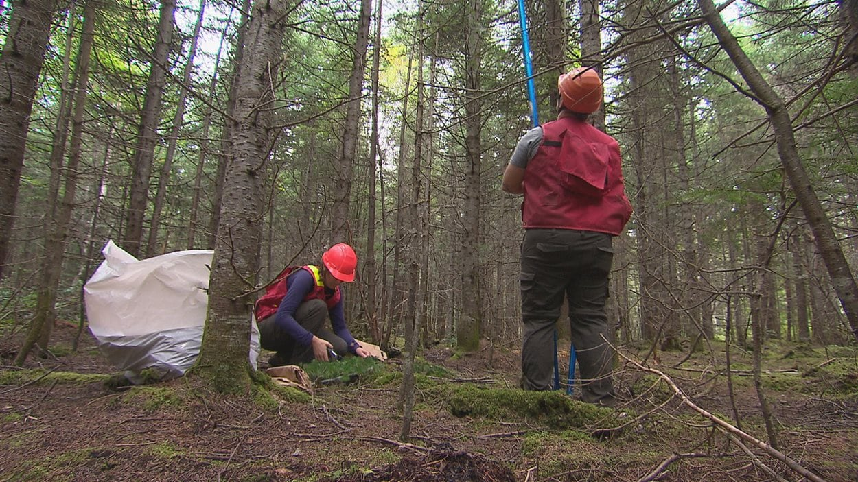 Une équipe de scientifiques et de forestiers prélève des échantillons de branches d'arbres pour évaluer les dommages de la tordeuse des bourgeons de l'épinette dans la région de Balmoral, au Nouveau-Brunswick.