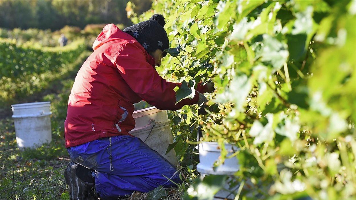 Un employé ramassent les raisins dans une vigne au Québec