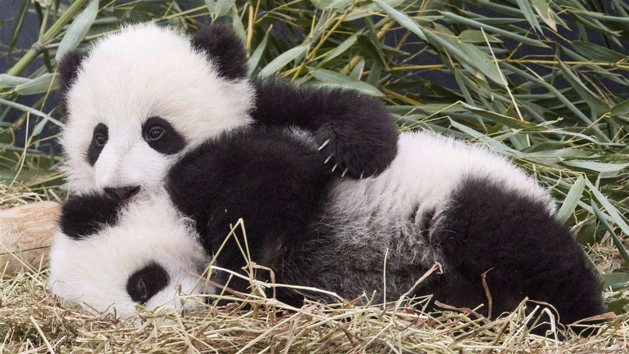 Les Bébés Pandas Du Zoo De Toronto Fêtent Leur Premier Anniversaire