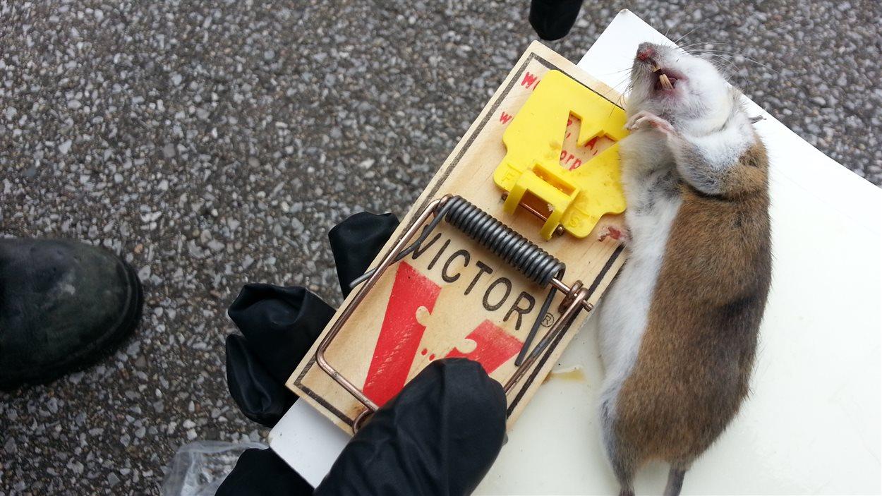 Les exterminateurs recoivent de nombreux appels pour la présence de souris dans des résidences.