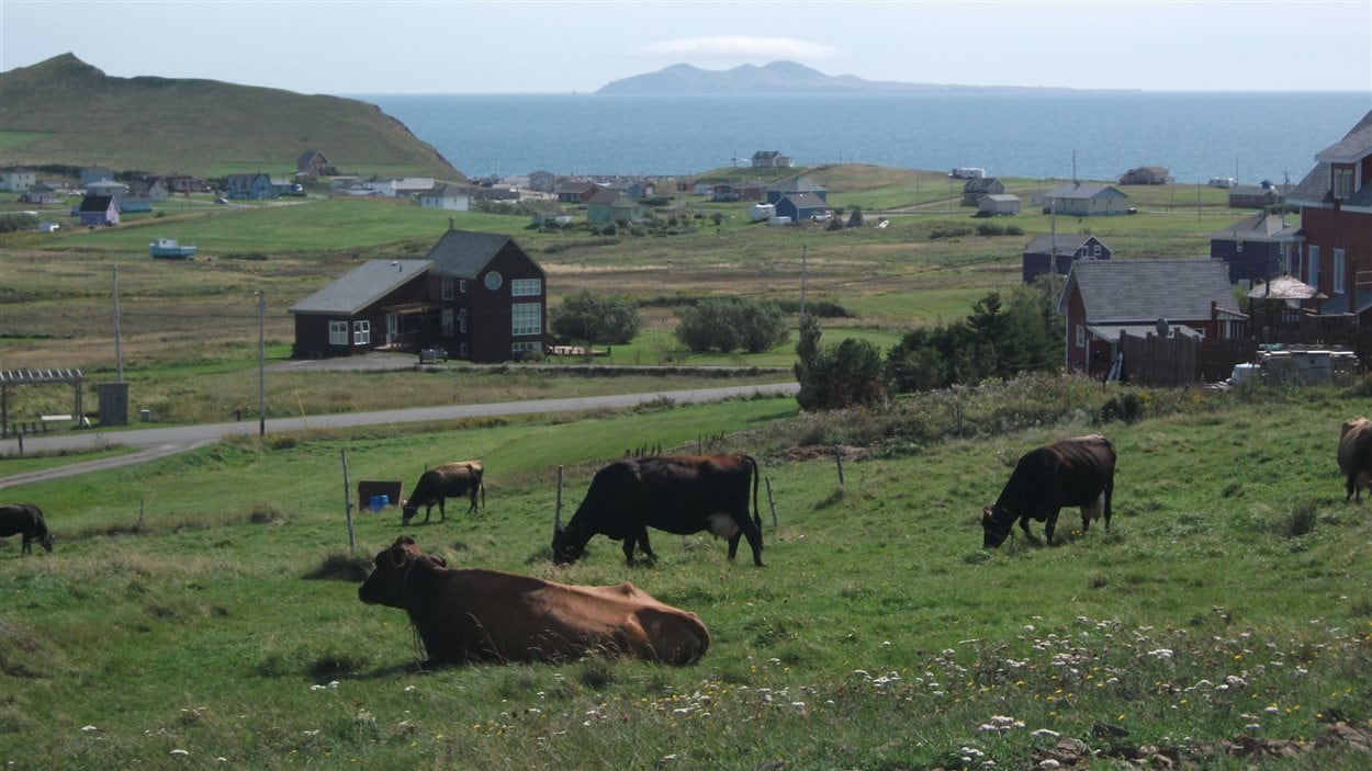 Vaches laitières de la Fromagerie du Pied-De-Vent aux Îles-de-la-Madeleine