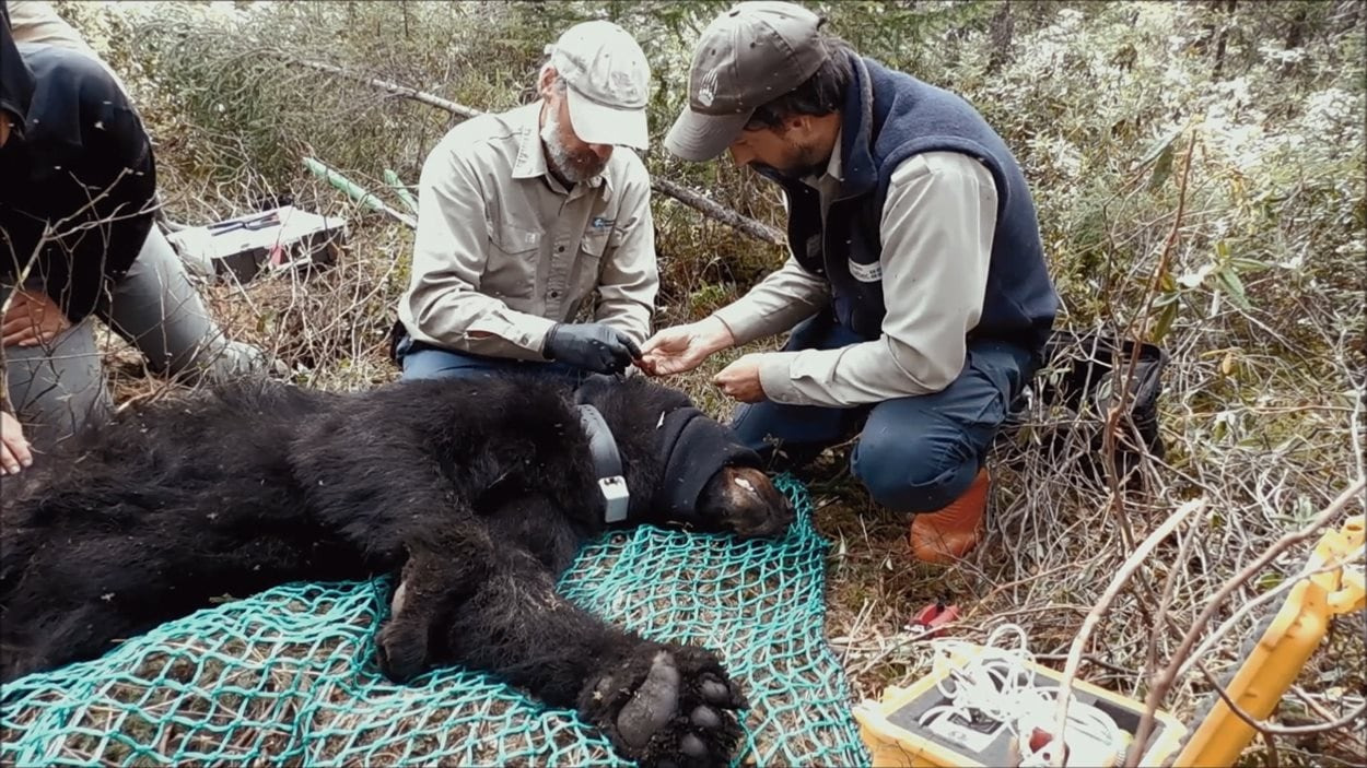 Des techniciens installent un collier sur l'ours