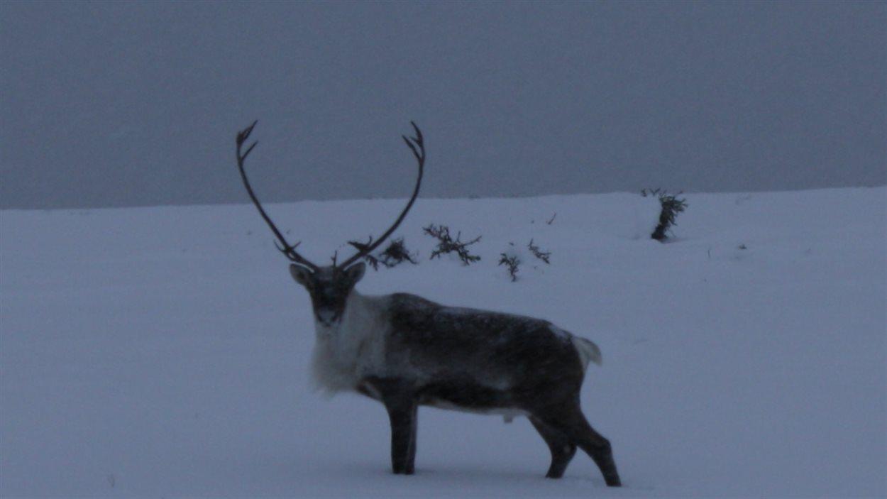 caribou dans la neige