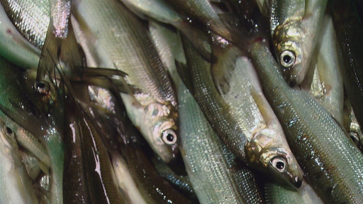 Le corégone nain est une toute nouvelle espèce de poisson.