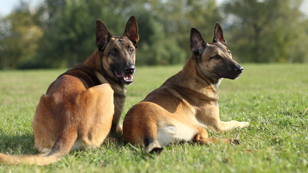 Deux bergers malinois