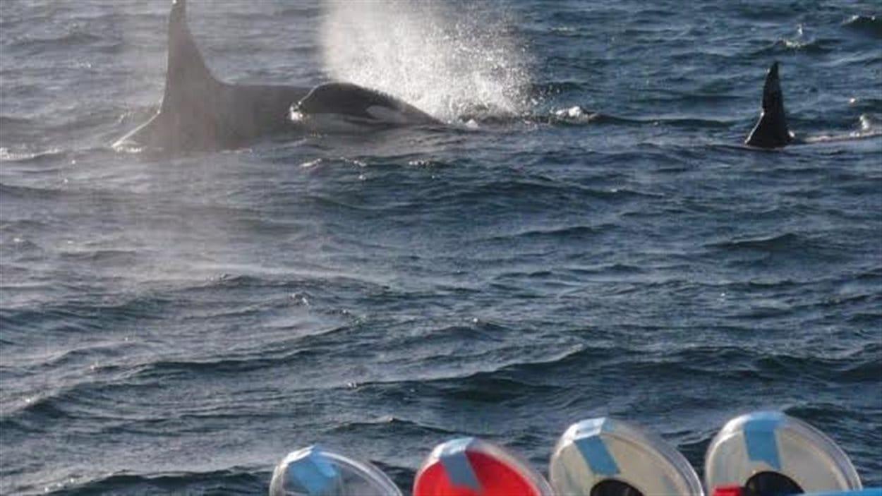Des orques dans la mer de Salish