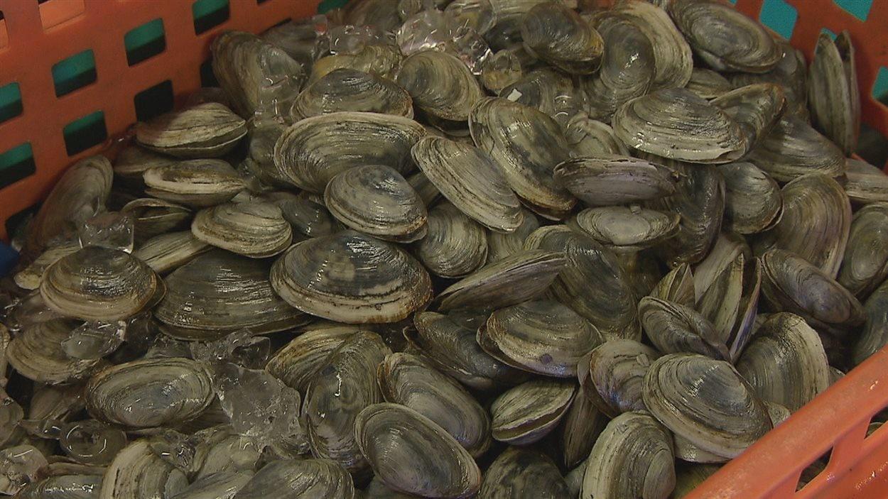 Les myes sont aussi appelées «clams».