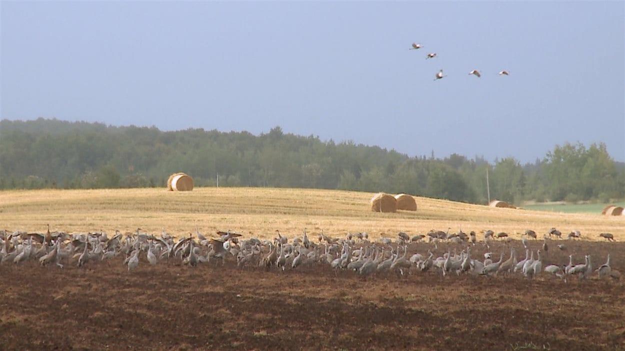 Les grues du Canada donnent des maux de tête aux agriculteurs.
