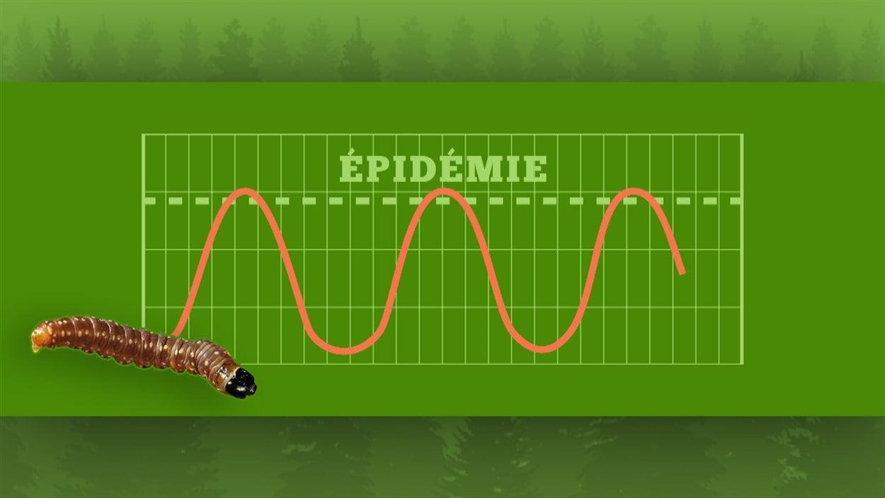 Les épidémies de tordeuses semble suivre un cycle régulier.